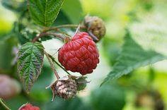 Merrily's raspberry cobbler original recipe :) on www.sunnymeals.com