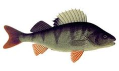 Ahven - Abborre - Perch Types Of Fish, Animal Facts, Fish Art, Art Boards, Painted Rocks, Animals, Image, Ideas, Tatoo