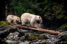 A mother and her cub walking with their dinner. These are Spirit Bears and they are in nature rarer than panda bears. Photographer: Kyle Breckenridge, Canada.30 Best Entries For The 2015 Sony World Photography Awards	 30 Best Entries For The 2015 Sony World Photography Awards