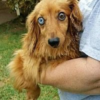 Pet Card Pet Adoption Dachshund Adoption Dog Adoption