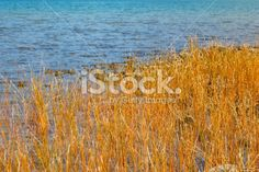 Orange Sedge Grass and Lake Royalty Free Stock Photo