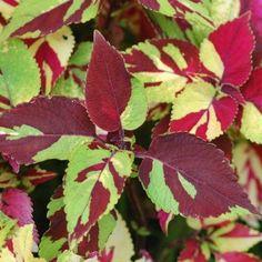 Coleus Painted Lady | Bountiful Plants