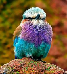 Really bright! Roller bird.