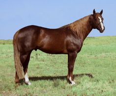 Sorrel quarter horse stallion, Go To Moons