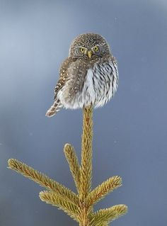 Cool picture.  Owl on a stick! - Must be gong to the MN state Fair where everything is on a stick. :)