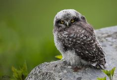 Juvenile Northern Hawk Owl