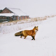 Reineke Fuchs ~ Photo by Beautiful Creatures, Animals Beautiful, Fox In Snow, Animals And Pets, Cute Animals, Wild Animals, Baby Animals, Fuchs Illustration, Fennec