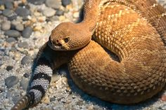 Rattlesnake. Snakes and spiders are never poisonous, they are venomous. Poison is toxic when swallowed, venom is toxic when injected. This rattlesnake is venomous.