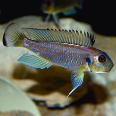 Triglachromis otostigma   #triglachromis #otostigma Tropical Aquarium, Tropical Fish, Cool Fish Tanks, Awesome Tanks, Fish List, Lake Tanganyika, Rare Fish, Undersea World, Freshwater Aquarium Fish