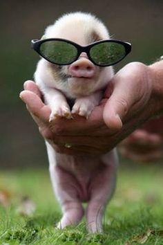 .mini micro piglet pig