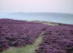 Photograph:Heather plants grow on the moors in Yorkshire, England.