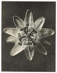 1940s photo gravure by Karl Blossfeldt  of a passiflora flower