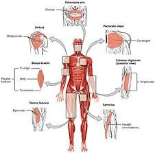 Human brain anatomys human brain labeled diagram neuroscience major muscles of the human diagram human anatomy 28 images major muscles in the human diagram human anatomy human leg muscles diagram leg muscles ccuart Image collections