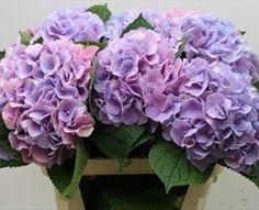 Hydrangea Dutch Marsepein Blue - Hydrangea - Flowers and Fillers - Flowers by category Hydrangea Garden, Blue Hydrangea, Hydrangeas, Flowers For You, Beautiful Flowers, Beautiful Things, Lavender Flowers, Purple Flowers, Beauty Expo