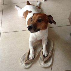 12 Reasons Why Jack Russells Are The Worst Breed EVER is part of Jack russell - Who'd love a dog like this Jack Terrier, Rat Terriers, Jack Russell Terrier, Terrier Puppies, Jack Russell Mix, Jack Russell Puppies, Smooth Fox Terriers, Dog Rules, Funny Animal Pictures