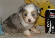 Kevlar, blue merle toy aussie male.  His baby picture next to a Coke Zero can.