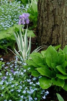 In the Shade Path Garden is Iris pallida variegata with its white and green punctuating foliage among the broad leaved hostas and billowing forget-me-nots (Myosotis). ~WMG blog by araceli