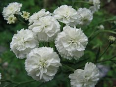 white carnations - Google Search