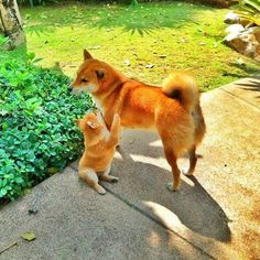 What cuties! Shiba Inu mommy and puppy! Shiba Inu, Shiba Puppy, Akita Dog, Beautiful Dogs, Animals Beautiful, Pet Dogs, Dog Cat, Doggies, Cute Puppies