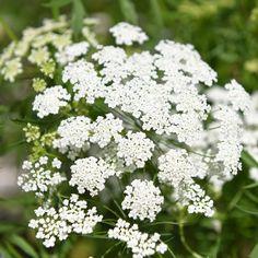 Slöjsilja i gruppen Fröer / Eterneller / Blommor hos Impecta Fröhandel (8070)