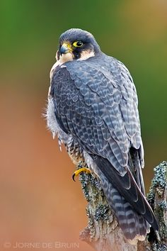 A Peregrine Falcon is sitting on a tree stump in the Scottish Highlands in the Cairngorms National Park, Scotland.    Photo by Jorne de Bruin.