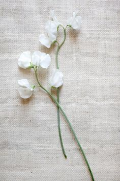 sweet pea....loved these growing up. A bouquet of them would be awesome!