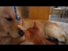 Brave Kitten Touching Big Dog's Nose! - 4 Weeks Old - English Cream Golden Retriever - YouTube