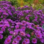 Fall asters in brilliant purple