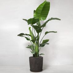 Her er de 10 mest trendy planter lige nu Green Plants, Tropical Plants, Potted Plants, Indoor Plants, Terrace Garden, Indoor Garden, Interior Plants, Interior And Exterior, Big Leaf Indoor Plant