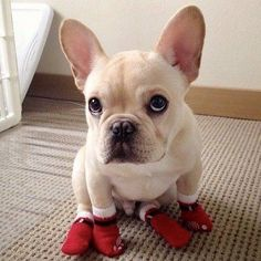 Christmas is coming and this French Bulldog already has his Santa Boots on ; )