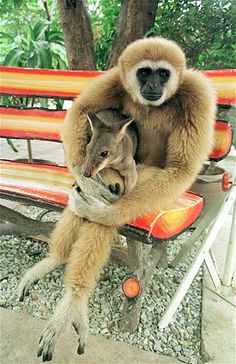 Just a Gibbon, holding a Wallaby. No big deal. Except that the Gibbon is creeping me out! Primates, Mammals, Cute Baby Animals, Animals And Pets, Funny Animals, Wild Animals, Unusual Animals, Animals Beautiful, Strange Animals