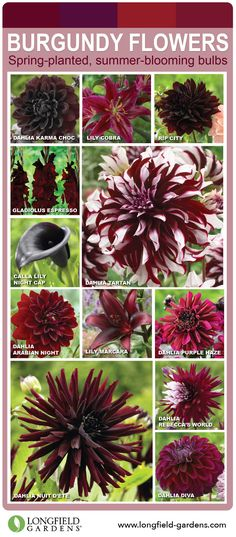 Love Burgundy Flowers? Then this is your pin! Click through to see all the gorgeous burgundy flowers.
