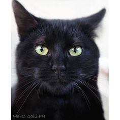 Black Cat photo by Marco Galli. Pretty Cats, Beautiful Cats, Animals Beautiful, Cute Animals, I Love Cats, Crazy Cats, Cool Cats, Cute Black Cats, White Cats