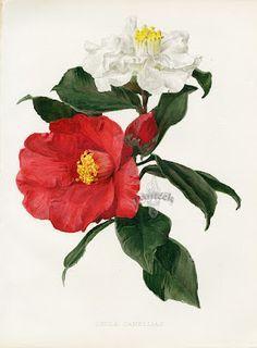 camellia illustration에 대한 이미지 검색결과