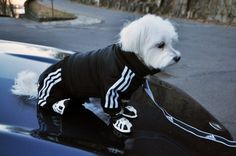 Puppy in an Adidas Track Suit.