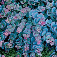 Creeping Blue Sedum  Zone  3-9   Height  6 - 12 inches  Bloom Time  Late Summer/Early Fall   Light Requirements  Full Sun, Partial Shade