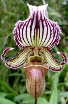 Paphiopedilum fairrieanum or Fairrie's Paphiopedilum. Found in the Indian Himalayas and Bhutan at an altitude of meters. Strange Flowers, Unusual Flowers, Wonderful Flowers, Unusual Plants, Rare Flowers, Exotic Plants, Beautiful Flowers, Orquideas Cymbidium, Types Of Orchids