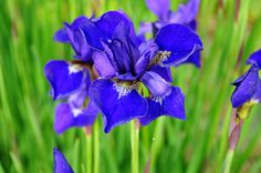 Blue Iris   Anne of Green Gables, p 222