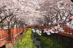 Corea-sur.Esta fiesta fue introducida durante la ocupación japonesa. Hoy en día, aunque aún es visto por algunos como un símbolo de la ocupación, hay muchos árboles de cerezo en la región de Séul.