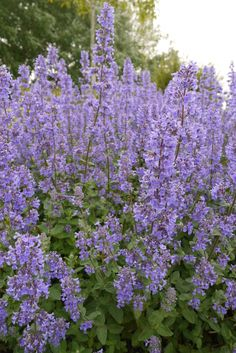 If you're looking to offer your customers a choice of deer-resistant perennials, consider these 17 new varieties, hitting retail in 2016 and Flower Garden, Edible Plants, Plants, Ornamental Grasses, Perennials, Outdoor Plants, Plants For Raised Beds, Blue Garden, Deer Resistant Perennials