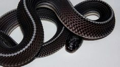 Gonionotophis capensis