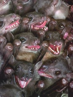 teeth of fruit bat Animals And Pets, Baby Animals, Funny Animals, Cute Animals, Beautiful Creatures, Animals Beautiful, Creepy, Scary, Dragons