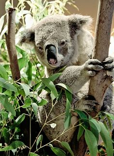 A friendly koala greeted private jet guests upon arrival at @Mandy Dewey Seasons Hotel Sydney.