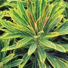 'Ascot Rainbow' Euphorbia