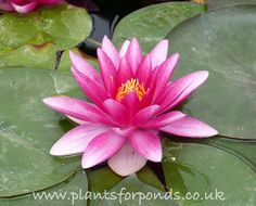 Charles de Meurville - Water lily (Nymphaea Charles de Meurville) A great red lily for medium to large ponds. All our water lilies are hardy and UK grown. Green Flowers, Summer Flowers, Colorful Flowers, Beautiful Flowers, Beautiful Pictures, Lilies Drawing, Red Lily, Water Plants, Pond Plants
