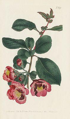 Joyaux de Botanical Magazine Curtis