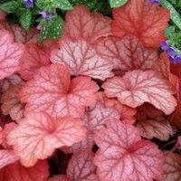 """Coral Bells - Georgia Peach  heuchera Georgia, 14-20"""" height, 20-24"""" wide. Zones 4-9; ideal for planting with hostas, cut back in preparation for winter. large leaf with peach color that darkens with time, silver overlay. Susceptible to rot, keep in well-drained soil, full sun to full shade, flowers in white in spring. Plant as accent on bed border, in woodland settings, or as ground cover with multiples."""