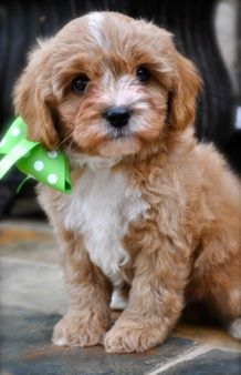 Cavapoo - Cavalier Spaniel/Poodle Mix. Obsessed. I am getting this type of puppy sometime this year. It's happening.