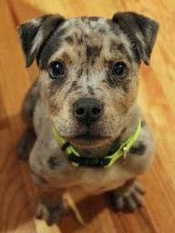 Staffordshire Bull Terrier / Catahoula Leopard mix