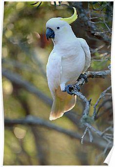 ' Poster by Ralph de Zilva Macaw Parrot For Sale, Parrot Tattoo, Australian Parrots, Terra Australis, Tiki Art, Australia Animals, Cedar Creek, Big Bird, Cockatoo